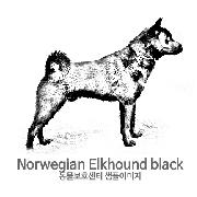 노르웨이언 엘크하운드 블랙