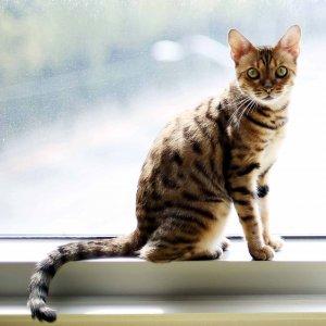 고양이를 찾습니다 벵갈캣 경기도 가평군