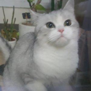고양이를 찾습니다 페르시안 전라남도 나주시