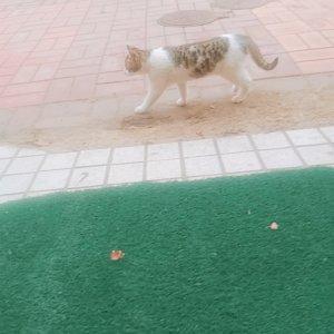 고양이를 찾습니다 코리아쇼트헤어 경기도 의왕시
