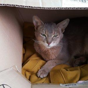 고양이 주인을 찾습니다 아비시니안 경기도 가평군