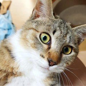 고양이 실종 코리아쇼트헤어 제주특별자치도 제주시