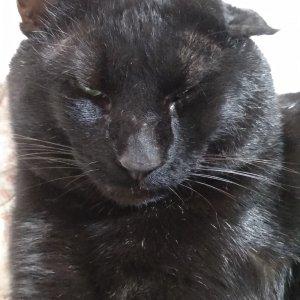 고양이 실종 코리아쇼트헤어 충청남도 아산시