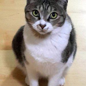 고양이 실종 코리아쇼트헤어 제주특별자치도 서귀포시