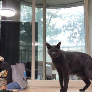 고양이 실종 러시안블루 경기도 수원시 권선구