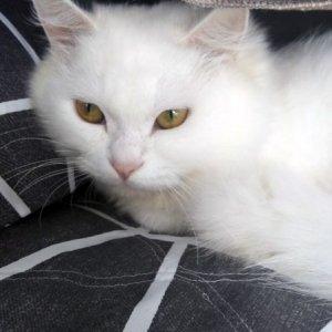 고양이 실종 페르시안 제주특별자치도 제주시
