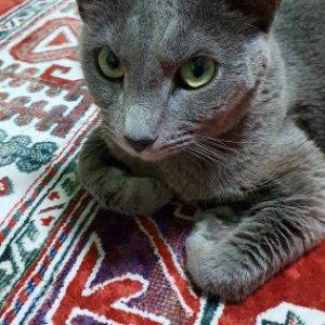 고양이 구조 러시안블루 충청남도 아산시