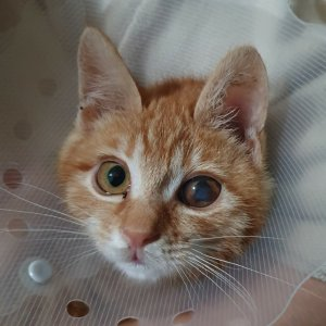고양이 실종 기타묘종 충청남도 아산시