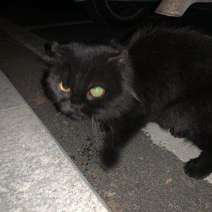 고양이 목격 페르시안 충청남도 예산군