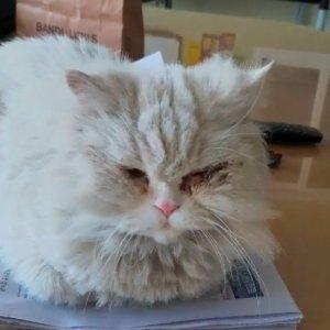 고양이 구조 페르시안 경기도 의왕시