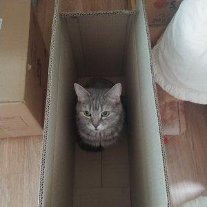 고양이를 찾습니다 브리티시쇼트헤어 경기도 화성시