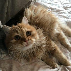 고양이 실종 페르시안 경기도 수원시 장안구