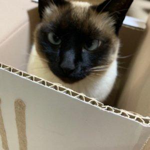 고양이 실종 샴 제주특별자치도 제주시