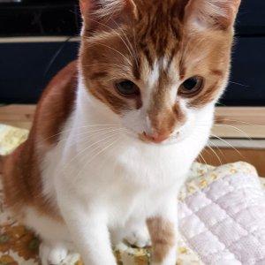고양이를 찾습니다 코리아쇼트헤어 서울특별시 성동구