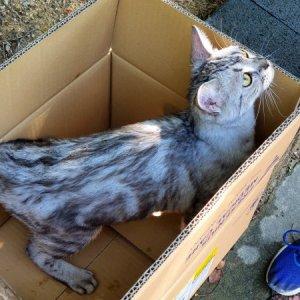 고양이 구조 아메리칸쇼트헤어 경기도 수원시 권선구