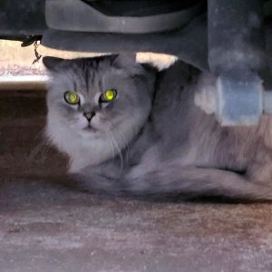 고양이 목격 페르시안 경기도 안양시 만안구