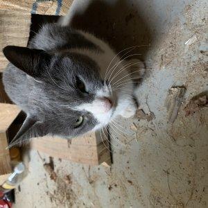 고양이를 찾습니다 브리티시쇼트헤어 경기도 고양시 일산동구