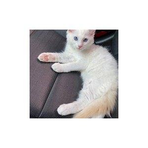 고양이 실종 래그돌 충청남도 아산시