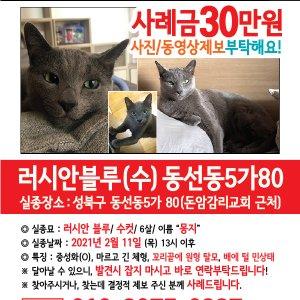 고양이를 찾습니다 러시안블루 서울특별시 성북구