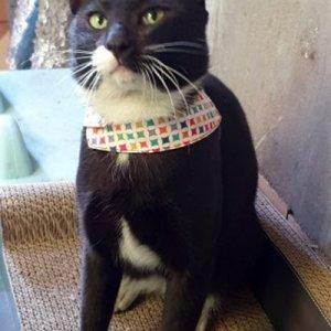 고양이를 찾습니다 코리아쇼트헤어 경상남도 양산시
