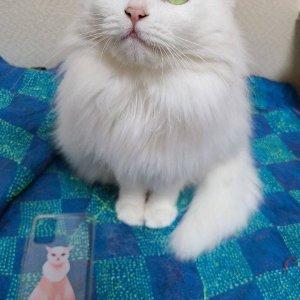 고양이 실종 터키시앙고라 제주특별자치도 서귀포시