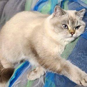 고양이를 찾습니다 브리티시쇼트헤어 인천광역시 부평구