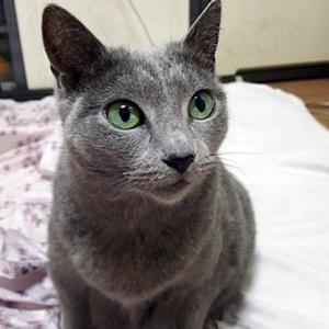 고양이 실종 러시안블루 부산광역시 강서구