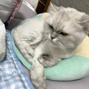 고양이 실종 페르시안 경기도 부천시 오정구