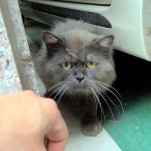 고양이 목격 페르시안 경기도 안산시 상록구