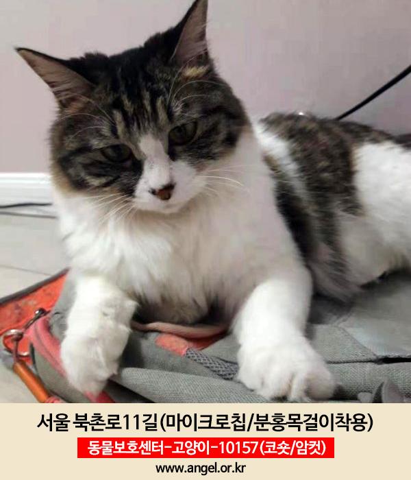 고양이 실종 코리아쇼트헤어 서울특별시 종로구