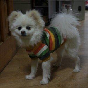 강아지를 찾습니다 포메라니언 전라남도 여수시