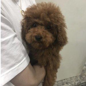 강아지 실종 푸들 서울특별시 강서구