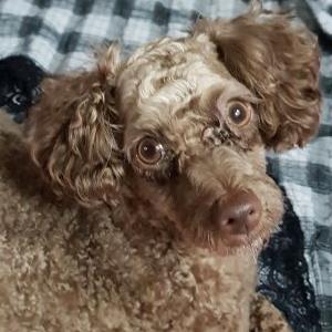 강아지를 찾습니다 푸들/미니어처푸들 전라북도 김제시