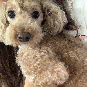 강아지를 찾습니다 푸들/미니어처푸들 서울특별시 동대문구