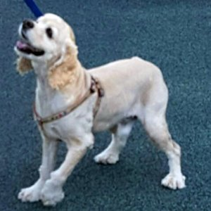 강아지를 찾습니다 아메리칸코커스패니얼 서울특별시 은평구