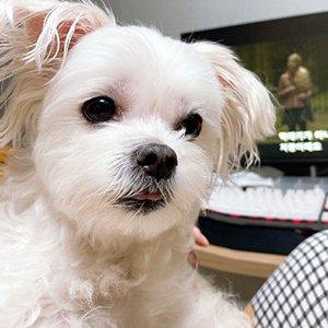 강아지를 찾습니다 말티즈 대구광역시 달성군