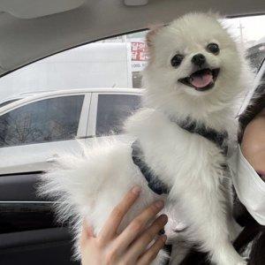 강아지를 찾습니다 포메라니언 대구광역시 달성군