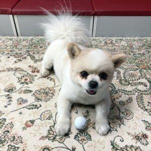 강아지 실종 포메라니언 전라남도 장성군