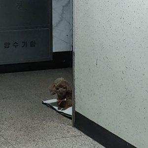 강아지 구조 푸들 경기도 동두천시