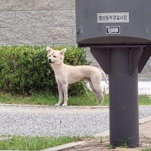 강아지 목격 믹스견 경기도 화성시