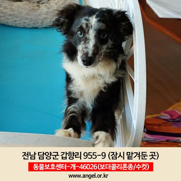 강아지 실종 보더콜리 전라남도 담양군