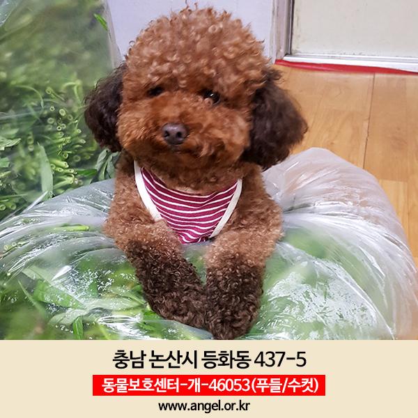 강아지 실종 푸들 충청남도 논산시